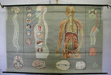 Schulwandkarte Wandkarte Wandbild Bild Nerven Nervensystem Gehirn Mensch 166x114