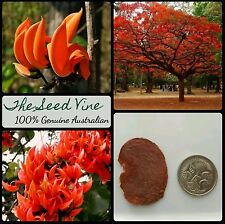 10 FLAME of the FOREST Tree SEEDS (Butea monosperma) RARE Indian Hindu Sacred