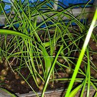 BAKER'S DOZEN - Free Exotic Plants! Pregnant Onion! Long Life! - LOOK!