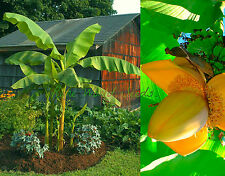 THE HARDIEST OF ALL Banana tree! Musa (Hardy basjoo) HARDY TO ZONE 4! seeds.