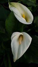 Zantedeschia Aethiopica 'white giant' 5 bulbs