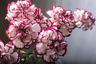 Nelke 'Double Striped' Riesen Chabaud 30 Samen- (Dianthus),gefüllte, duftend
