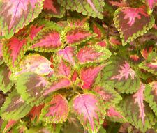 COLEUS WIZARD CORAL SUNRISE Solenostemon Scutellarioides - 40 Bulk Seeds