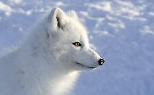 Incorniciato stampa-BIANCANEVE VOLPE ARTICA (PICTURE POSTER Antartico ANIMALE LUPO ART)