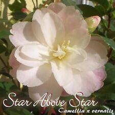 "Kamelie ""Star Above Star"" - Camellia x vernalis - 3-jährige Pflanze"