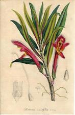 Stampa antica FIORI Columnea crassifolia botanica 1847 Old antique print flowers