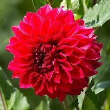 Red Dinner plate dalihua Dahlia Barbarossa 3 Large Bulbs Blooms!