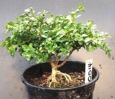 Bonsai Kingsville Boxwood Pre Bonsai Tree 8 Years Old Ready To Pot As Bonsai