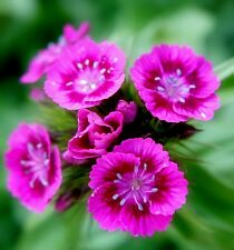 500+PINK SWEET WILLIAM European Wildflower Seeds Perennial Groundcover Garden