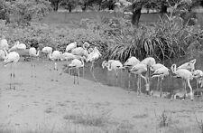 negativ-1930-Hamburg-Tierpark Stellingen-Hagenbeck-Tiere-Flamingo-7