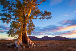 Eucalyptus camaldulensis (Red River Gum) 50 to 3,200 Seeds | RARE Garden Tree UK