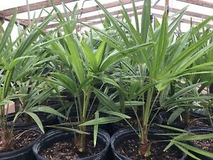 Cold Hardy Windmill Palms Trachycarpus Fortunei(5yrs old) $9.85 TOTAL shipping!