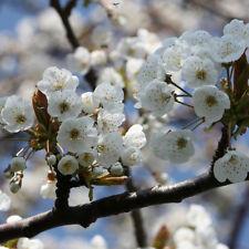 4 x Wild Cherry Trees Sapling Seedling 30-50cm Small Garden Tree (Prunus avium)