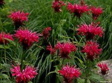 25+ Red Monarda Bee Balm Flower Seeds / Perennial