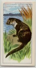 Otters Carnivorous Aquatic Marine Mammal Vintage Trade Ad Card