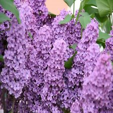 Lilac Fragrance Oil Candle/Soap Making Supplies *Free Shipping *