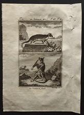 1799 - Buffon - Le sarigue mâle et femelle - Gravure zoologie