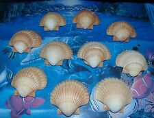 TEN (10) MEXICAN DEEP SCALLOP SEA SHELLS BEACH  DECOR NAUTICAL CRAFT TROPICAL
