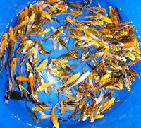 "50- Lot Assorted 4""-5"" Standard Fin Live Koi Fish for Koi Pond Garden PKF"