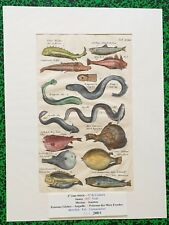 XVII ème - Jonston & Merian Superbe Gravure Poissons Mers Froides Pl XXIV 1657