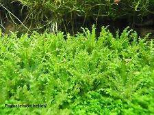 Pogostemon helferi petit eau étoile aquascaping Eau Plante