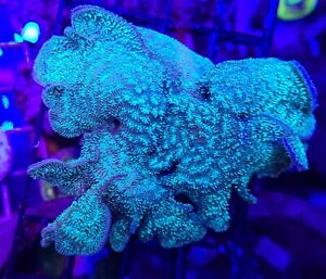 """Live Coral Robbie's Corals Green Hairy Pavona Coral SPS LG 2.5""""-3"""""""