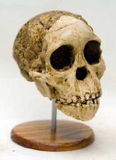 MOULAGE FOSSILE crane Australopithecus Enfant de Taung Child Hominid skull cast