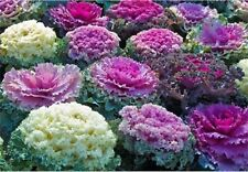 Rare Flower Seeds Cabbage Ornamental Mix Organically Grown