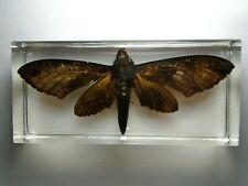 COELONIA FULVINOTATA African Moths ( Sphingidae ) Real insect embedded in resin.