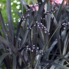 3 Ophiopogon Niger Black Mondo Grass Hardy Evergreen marginal pond edge plant
