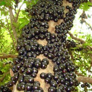 Bonsai Jaboticaba (Plinia cauliflora) Tropical Living Fruit Tree