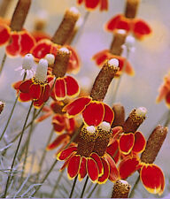 Mexican Hat Seeds, Heirloom Daisy Seeds, Wildflowers, 1/2 oz approx 26,000 seeds