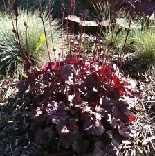 Heuchera Palace Purple Seeds Perennial Evergreen Groundcover Sun Shade