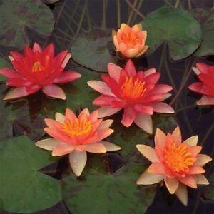 Indiana Dwarf small pond water lily - pond plants water lilies aquatic plants