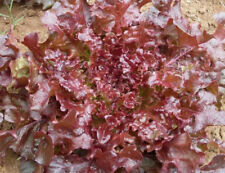 Red Salad Bowl Lettuce 1000 seeds great for salad  easy to grow CombSH L22