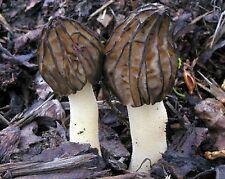 20 gr seeds of Semifree Morel - Mitrophora semilibera Half Free Morel, Morchella