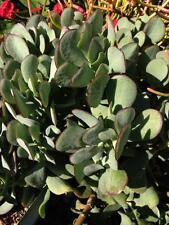 RARE Succulent Crassula Arborescens Blue Bird Bare Rooted Shrub Jade Cactus