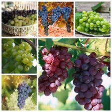 50 Grape Seeds Berry Vitis Perennial Plants Fruit  Fresh Tasty Garden Nature Big