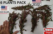 6 bunches Alternanthera reineckii  plants Easy Aquarium aquascaping planted tank