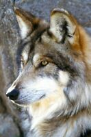 Wolf Watch - DIY Counted Cross Stitch Pattern Needlework