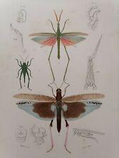 Orbigny Gravure Sur Acier XIXème Orthoptère Criquet triste Blanchard pinx 1849