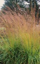 Molinia caerulea ssp. arundinacea Purple Moor-Grass 30 Seeds Hardy UK FREEPOST