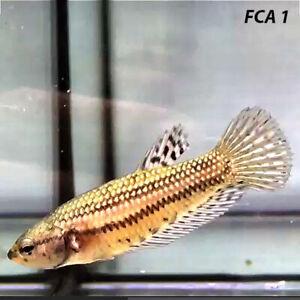 Live Betta Fish Female Alien Copper Wild Type for Breeding from Thailand