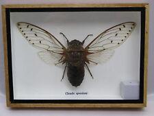 Cicada speciosa - echtes Insekt im Schaukasten aus Holz