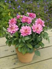 50 Dahlia Xxl Paraiso Live Plants Plugs Garden Home Patio Diy Planters D10002