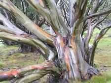 Eucalyptus coccifera potted liner Tree Firewood Coppicing Winter Hardy Evergreen