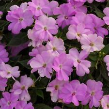 50 Sunpatiens Vigorous Orchid Live Plants Plugs Garden Home Diy Planters 480M