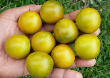 Emerald Cherry Tomato - Very Unusual Coloured, Great Flavoured Tomato - 10 Seeds