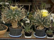 """Exotic Cacti  """"Leuchtenbergia principis"""" 20 Seeds"""