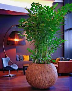 Caryota mitis (Fishtail Palm Tree) 3 to 25 Seeds - RARE Indoor House Plant | UK
